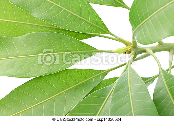 Young treetop of mango leaf on white background. - csp14026524