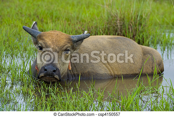 young water buffalo out in the nature - csp4150557