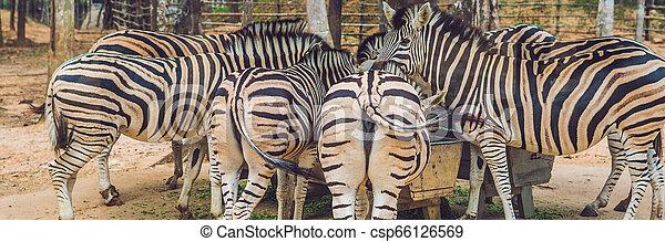 zèbres, format, parc, long, vert, safari, herbe, manger, bannière - csp66126569