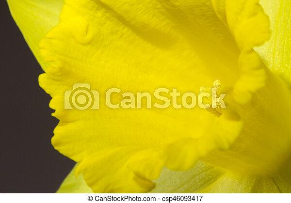 zamknięcie, wizerunek, żonkil, do góry, żółty - csp46093417