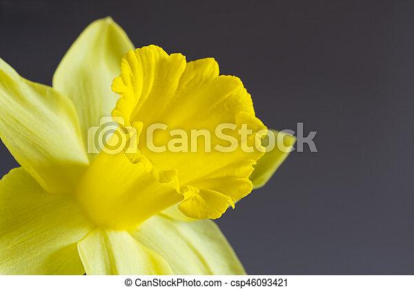 zamknięcie, wizerunek, żonkil, do góry, żółty - csp46093421
