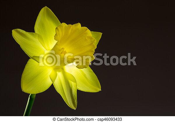 zamknięcie, wizerunek, żonkil, do góry, żółty - csp46093433