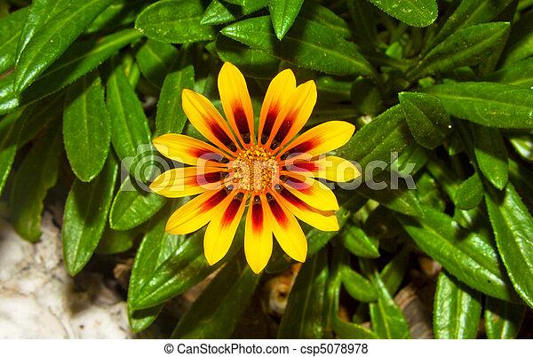 zamknięcie, wizerunek, kwiat, do góry, żółty - csp5078978