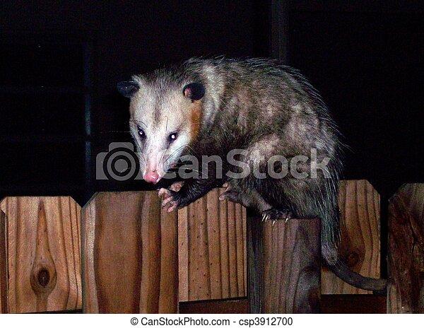 Possum en la cerca - csp3912700