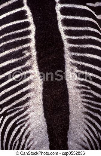 Zebra, a Closer View - csp0552836