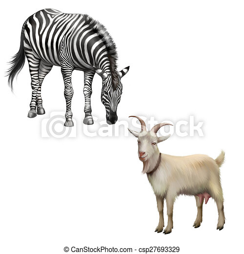 zebra bent down eating grass, Goat - csp27693329