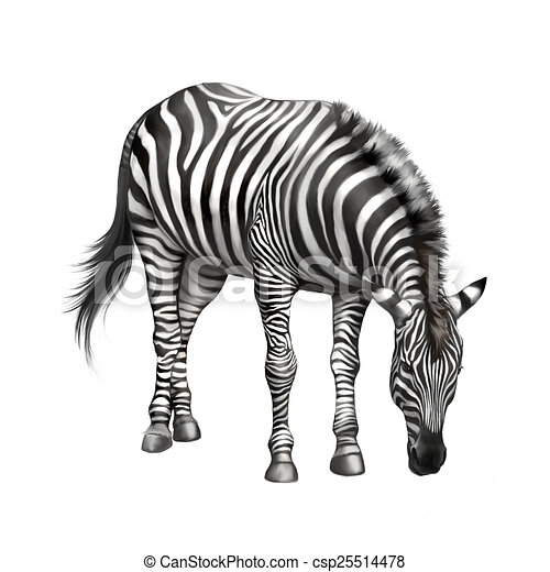 zebra bent down eating grass . isolated on white background - csp25514478