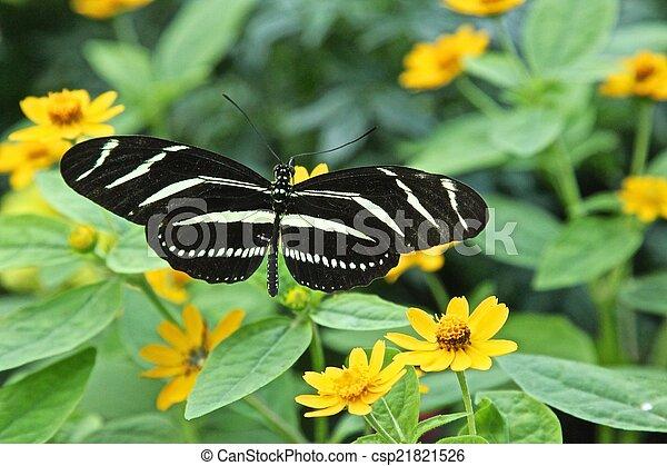 Zebra butterfly - csp21821526