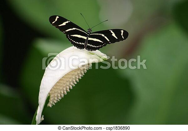 Zebra Butterfly - csp1836890