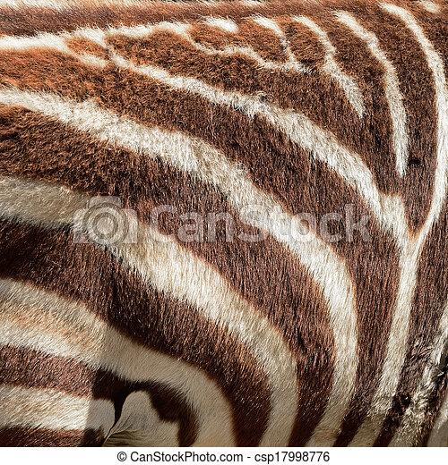 zebra, commun, peau - csp17998776