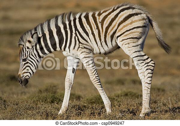 Zebra Foal - csp0949247