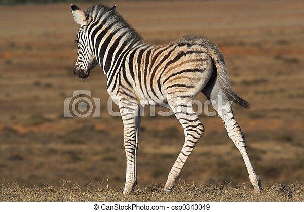 Zebra Foal - csp0343049