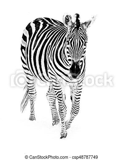 Zebra in Snow III - csp48787749