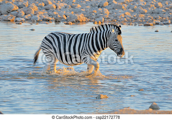 Zebra in water at sunset, Okaukeujo waterhole - csp22172778