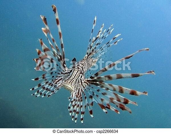 Zebra Lion fish - csp2266634