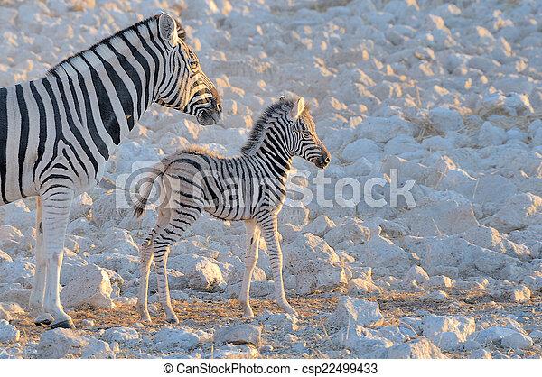 Zebra mother and foal, Okaukeujo waterhole - csp22499433