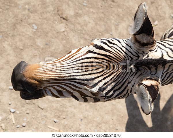 zebra - csp28524076