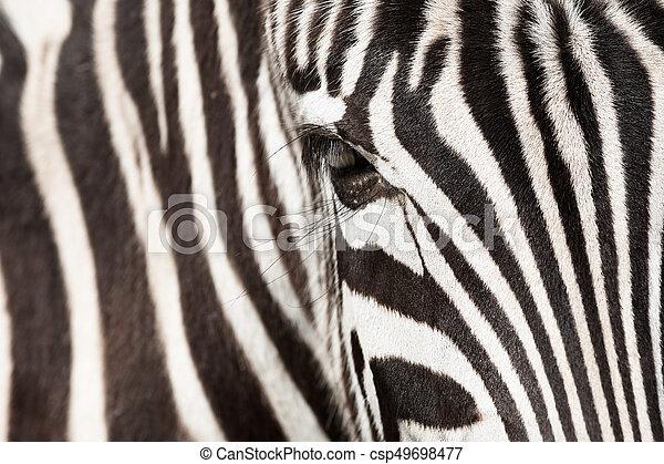 Zebra - csp49698477