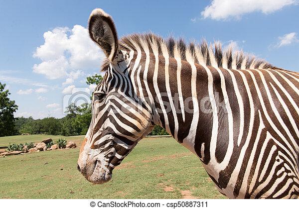 Zebra - csp50887311