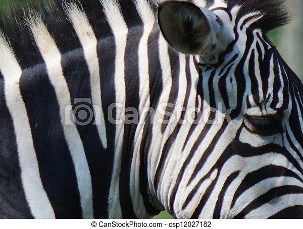Zebra - csp12027182