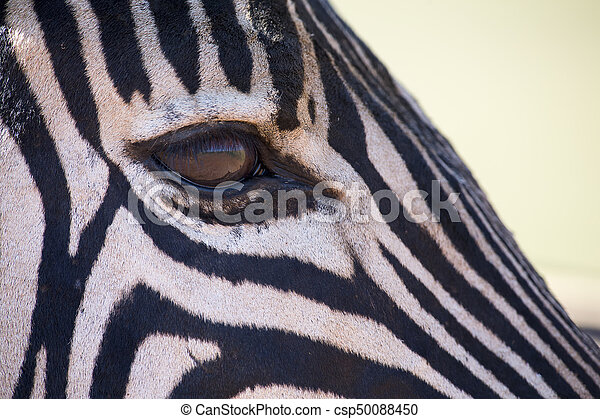 Zebra portrait in colour photo with head close-up looking over - csp50088450