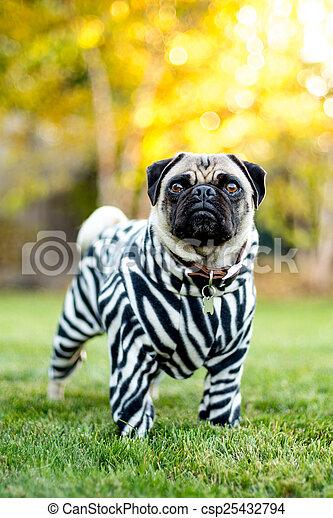 Zebra Pug - csp25432794