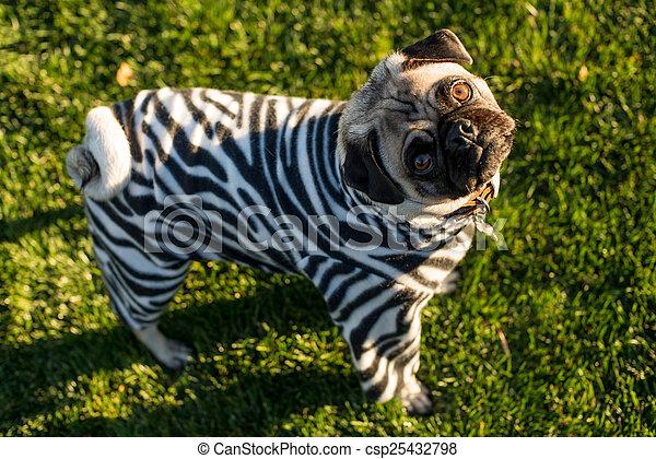 Zebra Pug - csp25432798