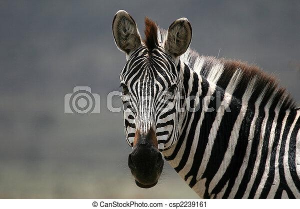 Zebra - Serengeti Safari, Tanzania, Africa - csp2239161