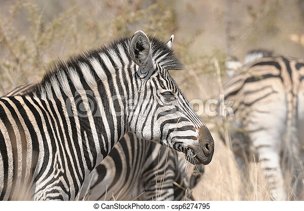 Zebra - csp6274795