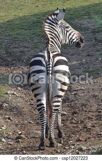 Zebra - csp12027223