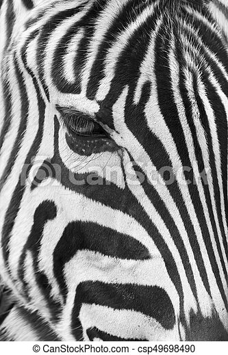 Zebra - csp49698490