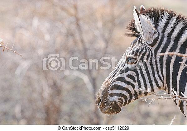 Zebra - csp5112029