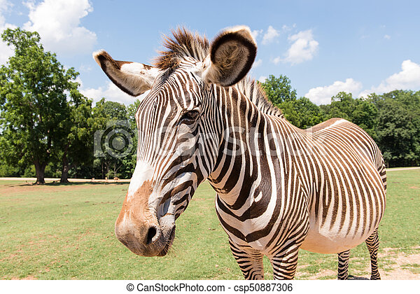 Zebra - csp50887306
