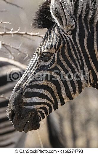 Zebra - csp6274793