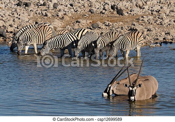 Zebras and Oryx drinking water, Okaukeujo waterhole - csp12699589