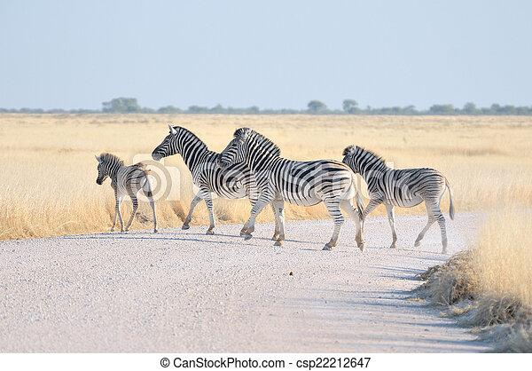 Zebras crossing a road - csp22212647