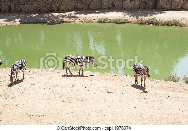 Zebras grazing in Lake - csp11976074