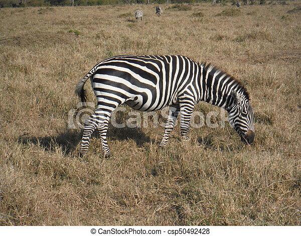 Zebra's lunch - csp50492428