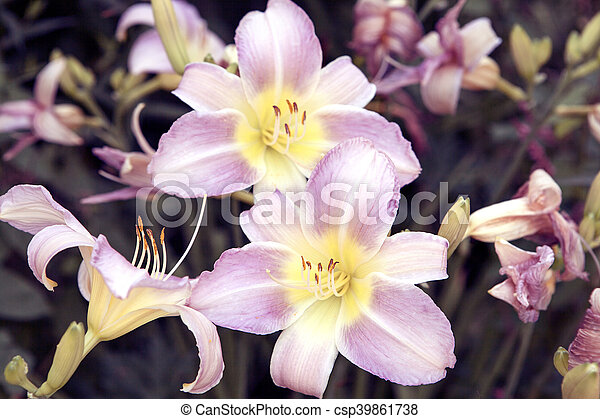 Zephyranthes flower  Common names for species in this genus include fairy  lily, rainflower, zephyr , magic