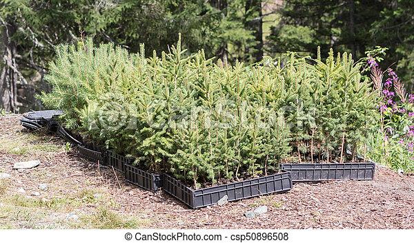 zijn, dennenboom, wachten, geplante, bomen, kleine, bos - csp50896508