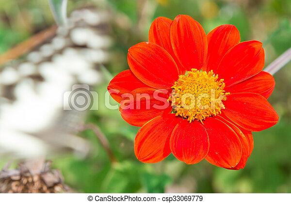 Zinnia flower closeup of red Zinnia flower in full bloom - csp33069779