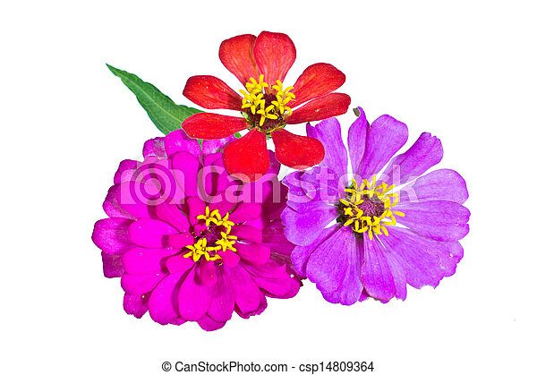 Zinnia flower isolated - csp14809364