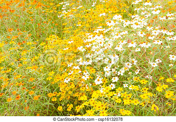 zinnia flowers - csp16132078