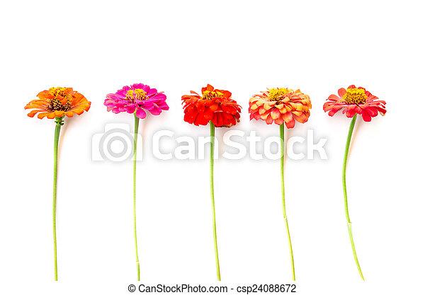 zinnia flowers - csp24088672