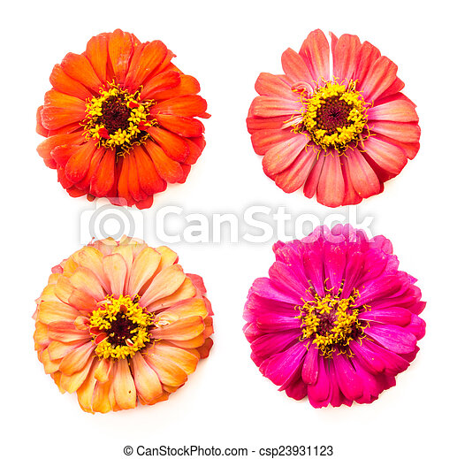 zinnia flowers - csp23931123
