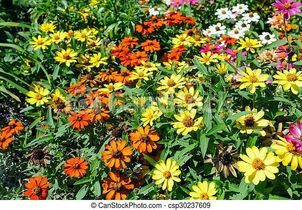 Zinnia, parterre fleurs, jardin fleur. Jardin fleur, parterre fleurs ...