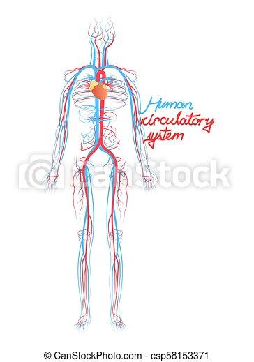 Zirkulierend, system., gefäße, blut, menschliche , begrifflich ...