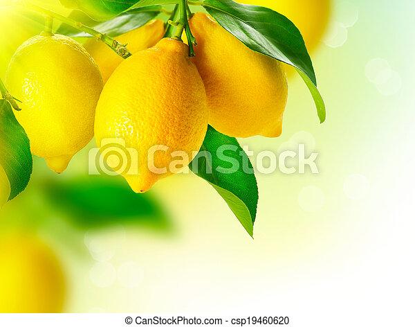 zitrone, reif, lemon., baum., zitronen, hängender , wachsen - csp19460620
