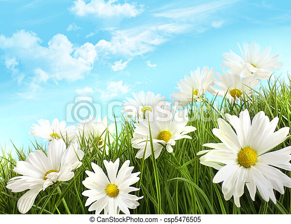zomer, witte , gras, madeliefjes, groot - csp5476505
