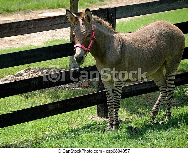 Zonkey part zebra/donkey - csp6804057